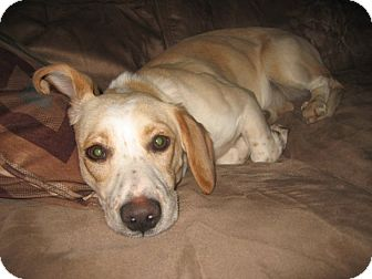 Beagle Mix Dog for adoption in Hopkinsville, Kentucky - Amelia & Sadie