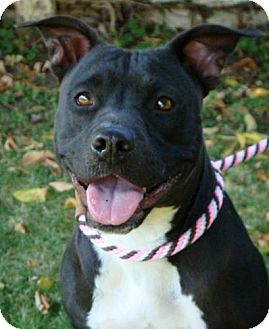 American Pit Bull Terrier Mix Dog for adoption in Red Bluff, California - Ivanna