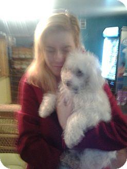 Maltese/Poodle (Miniature) Mix Dog for adoption in Sherman Oaks, California - Patrick