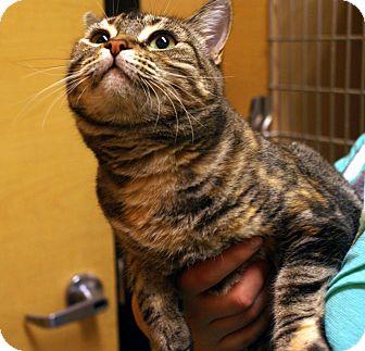 Domestic Shorthair Cat for adoption in Yuba City, California - Marlow