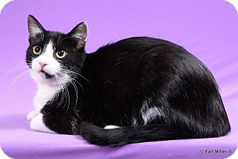 Domestic Shorthair Cat for adoption in Las Vegas, Nevada - Navora