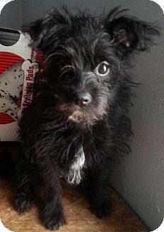Yorkie, Yorkshire Terrier/Pomeranian Mix Puppy for adoption in Detroit, Michigan - Ariel