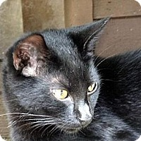 Domestic Shorthair Cat for adoption in Palm City, Florida - Hummer