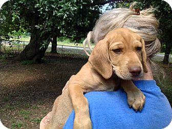 Beagle/Hound (Unknown Type) Mix Puppy for adoption in Bartonsville, Pennsylvania - Zen