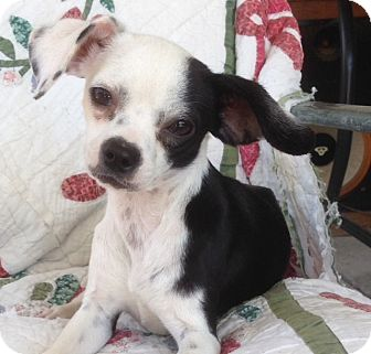 Beagle/Chihuahua Mix Puppy for adoption in Studio City, California - Daisy