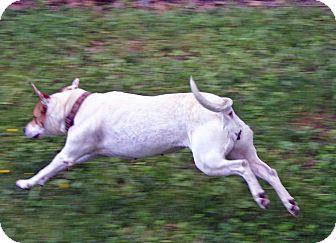 Labrador Retriever/Hound (Unknown Type) Mix Dog for adoption in Sylva, North Carolina - Diane