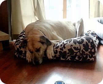 Great Dane Dog for adoption in Stevens Point, Wisconsin - Zerk