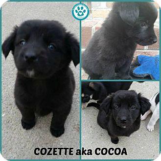 Hound (Unknown Type)/Border Collie Mix Puppy for adoption in Kimberton, Pennsylvania - Cozette aka Cocoa