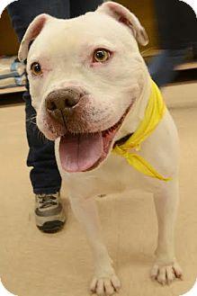 American Bulldog Mix Dog for adoption in Rockaway, New Jersey - Snow