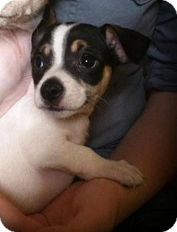 Chihuahua/Terrier (Unknown Type, Medium) Mix Puppy for adoption in Indianapolis, Indiana - Luke
