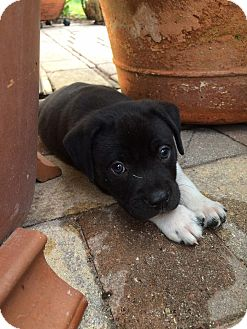 Rottweiler/Boxer Mix Puppy for adoption in Wellington, Florida - JACK