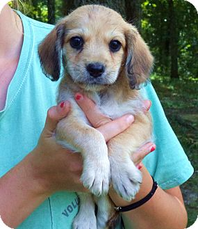 Schnauzer (Miniature)/Dachshund Mix Puppy for adoption in Chicago, Illinois - MANILOW-as sweet as he is cute
