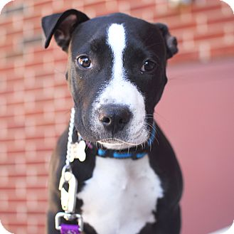 American Staffordshire Terrier/Pit Bull Terrier Mix Dog for adoption in Detroit, Michigan - Quinn-Adopted!