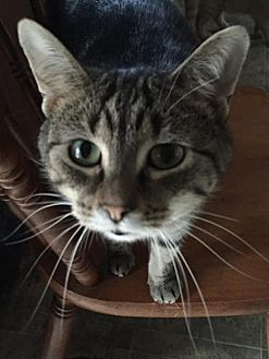 Domestic Shorthair Cat for adoption in Rochester, Michigan - Sweetie