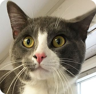Domestic Shorthair Cat for adoption in Clayville, Rhode Island - Grady