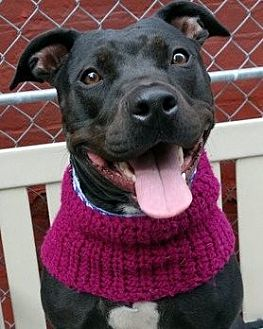 American Pit Bull Terrier/Labrador Retriever Mix Dog for adoption in Staten Island, New York - Zola *URGT* IMMED FOSTER NEEDED*
