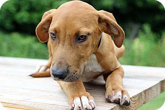 Hound (Unknown Type) Mix Puppy for adoption in Waldorf, Maryland - Jimbo
