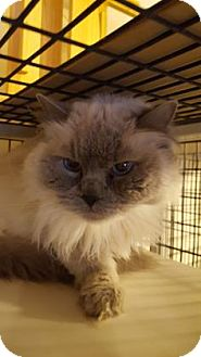Ragdoll Cat for adoption in Tucson, Arizona - Sasha