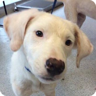 Labrador Retriever Mix Puppy for adoption in DeForest, Wisconsin - Donnie