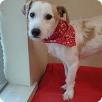 Adopt A Pet :: Bucky in Houston - Houston, TX