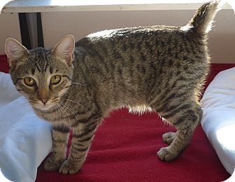 Domestic Mediumhair Kitten for adoption in Manning, South Carolina - Scooter