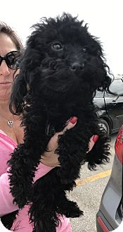 Maltese/Poodle (Miniature) Mix Dog for adoption in Palm Harbor, Florida - Jersey