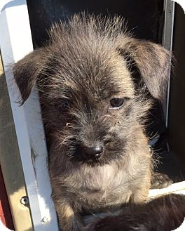 Shih Tzu/Schnauzer (Miniature) Mix Puppy for adoption in Pennigton, New Jersey - Lily