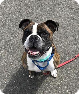 English Bulldog/Boxer Mix Dog for adoption in Gloucester, Massachusetts - Waylon