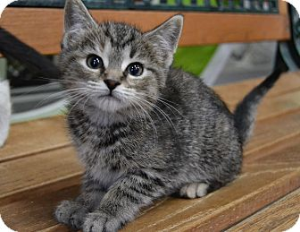 Domestic Shorthair Kitten for adoption in Michigan City, Indiana - Firestone