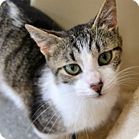 Domestic Shorthair Cat for adoption in Michigan City, Indiana - Katie