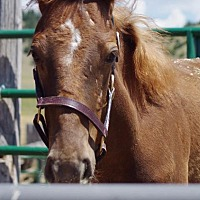 Thoroughbred for adoption in Hartville, Wyoming - Rouge