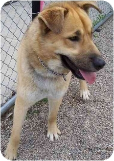 Shepherd (Unknown Type)/Husky Mix Dog for adoption in Anderson, Indiana - Dakota-URGENT!