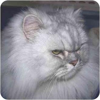Persian Cat for adoption in Seattle, Washington - Rambo