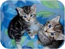 Domestic Shorthair Kitten for adoption in Arlington, Virginia - Lacey & Lucas