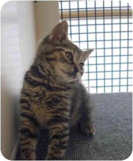 American Shorthair Kitten for adoption in Cranford, New Jersey - Elsie