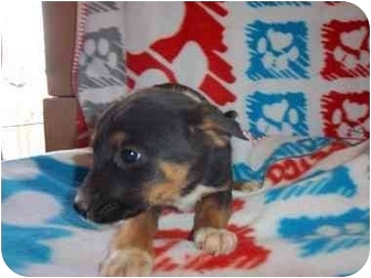 Shepherd (Unknown Type)/Rottweiler Mix Puppy for adoption in Westminster, Colorado - Tegin