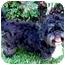 Photo 2 - Lhasa Apso/Shih Tzu Mix Dog for adoption in Los Angeles, California - BOSCO
