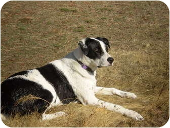 Pointer/Labrador Retriever Mix Dog for adoption in West Richland, Washington - Sammy Chuckles