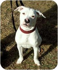 American Bulldog/Terrier (Unknown Type, Medium) Mix Puppy for adoption in Milton, Massachusetts - Kali