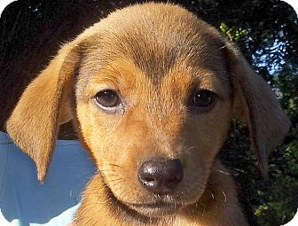 Terrier (Unknown Type, Medium) Mix Puppy for adoption in Groton, Massachusetts - Toffee