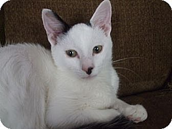 Domestic Longhair Cat for adoption in Olive Branch, Mississippi - Roger Remembered...............