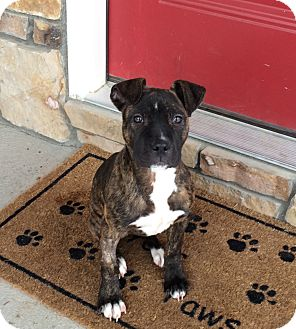 Boxer/American Pit Bull Terrier Mix Puppy for adoption in Bryan, Texas - Rosie
