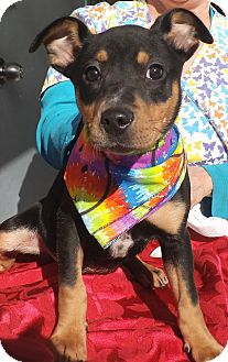 Miniature Pinscher/Sheltie, Shetland Sheepdog Mix Puppy for adoption in Middletown, New York - Roma