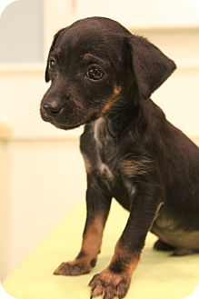 Chihuahua Mix Puppy for adoption in Bedminster, New Jersey - Cruz