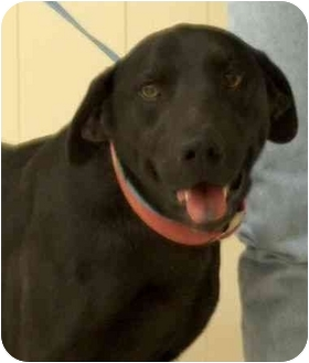 Labrador Retriever/Weimaraner Mix Dog for adoption in Winfield, Kansas - Chauncy