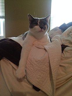 Domestic Shorthair Cat for adoption in Covington, Kentucky - Simon  *Declawed*
