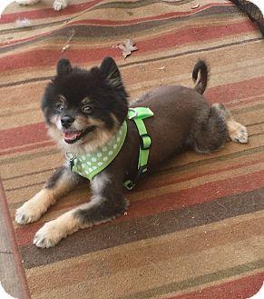 Pomeranian Mix Dog for adoption in conroe, Texas - Kuma
