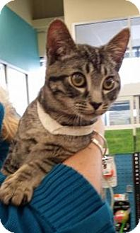 Domestic Shorthair Kitten for adoption in Old Bridge, New Jersey - Brad
