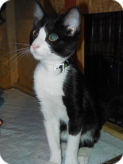 Domestic Shorthair Kitten for adoption in Whiting, Indiana - Doug