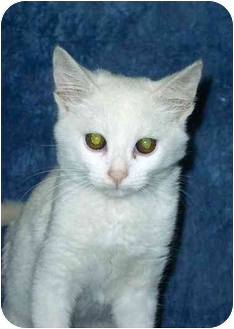 Domestic Shorthair Kitten for adoption in Ladysmith, Wisconsin - Ying